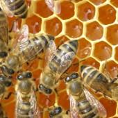 dani meda, pazin, pčele,